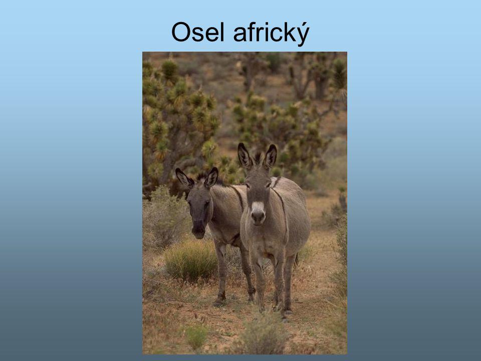 Osel africký