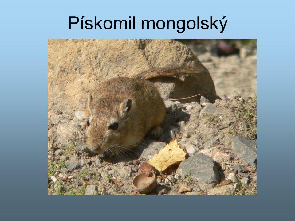 Pískomil mongolský