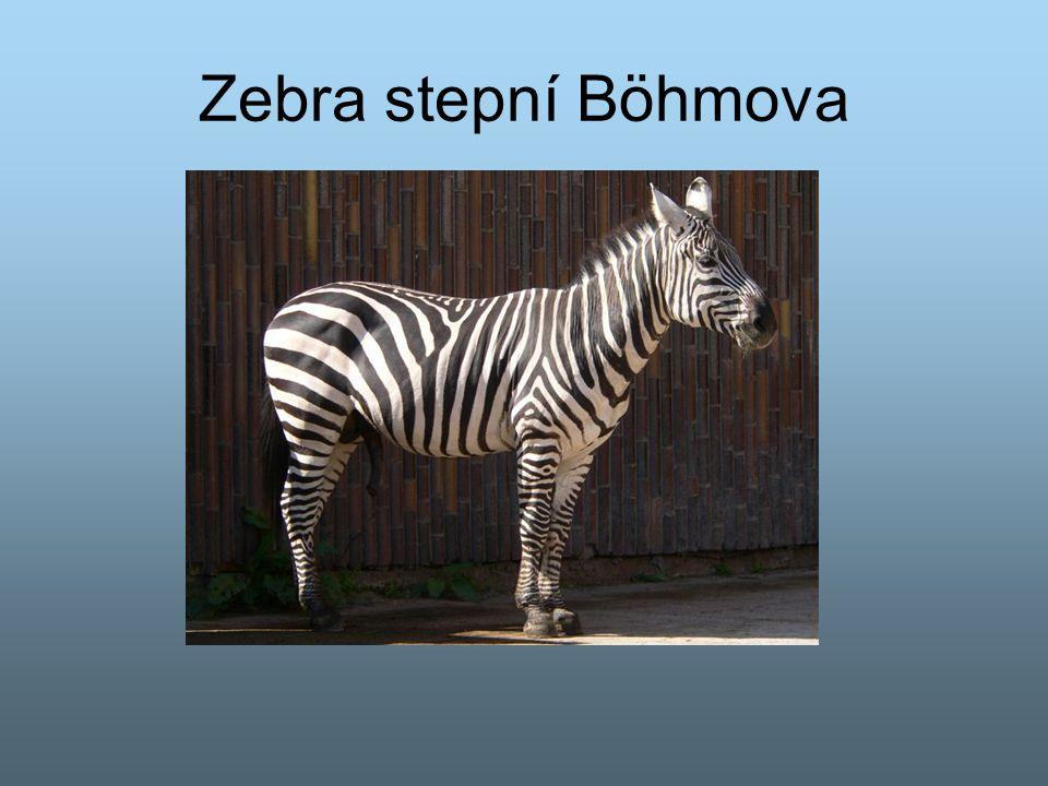 Zebra stepní Böhmova