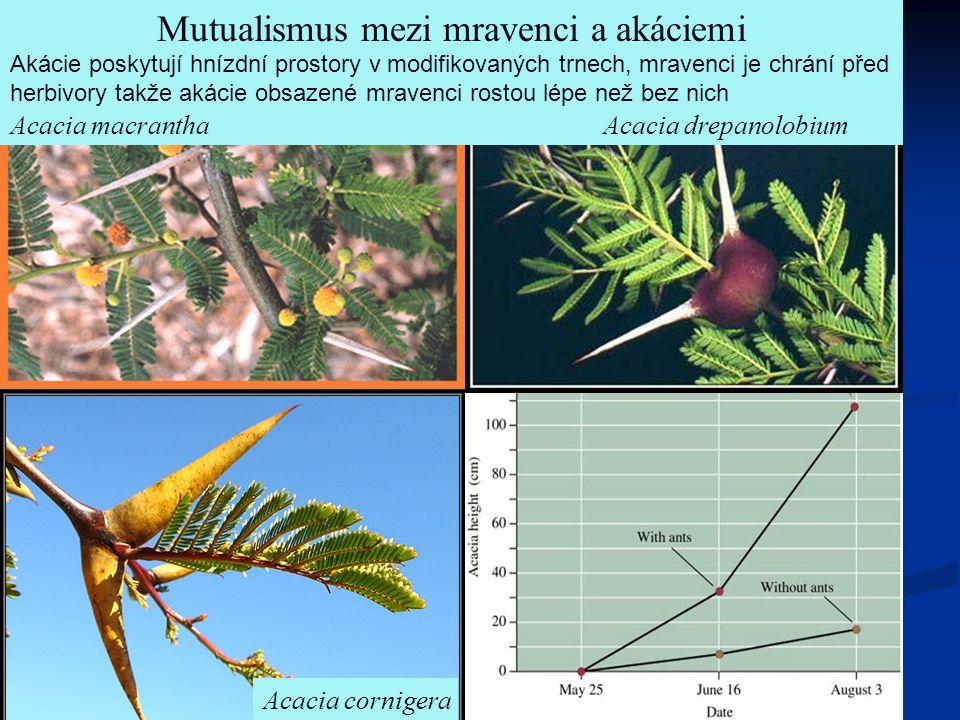 Acacia cornigera Acacia drepanolobium Mutualismus mezi mravenci a akáciemi Acacia macrantha Akácie poskytují hnízdní prostory v modifikovaných trnech,