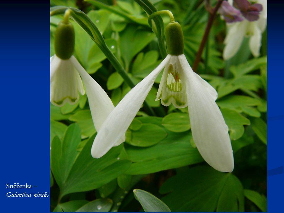 Sněženka – Galanthus nivalis