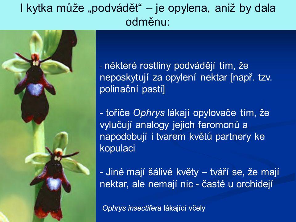 """Ophrys insectifera lákající včely I kytka může """"podvádět"""" – je opylena, aniž by dala odměnu: - některé rostliny podvádějí tím, že neposkytují za opyle"""