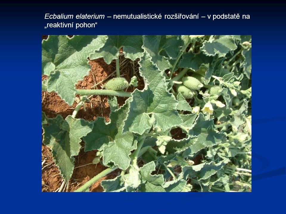 """Ecbalium elaterium – nemutualistické rozšiřování – v podstatě na """"reaktivní pohon"""""""