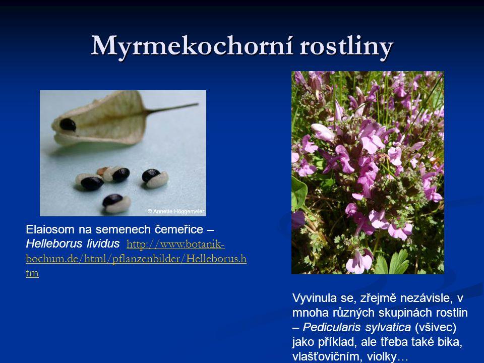 Myrmekochorní rostliny Elaiosom na semenech čemeřice – Helleborus lividus http://www.botanik- bochum.de/html/pflanzenbilder/Helleborus.h tmhttp://www.