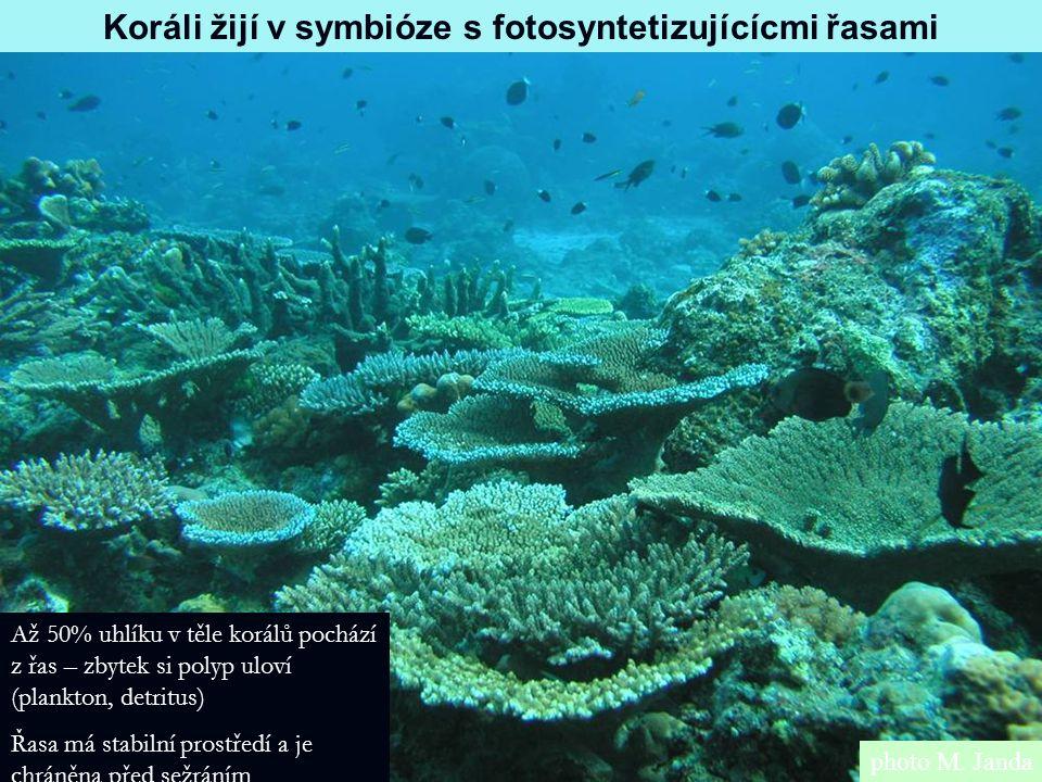 photo M. Janda Koráli žijí v symbióze s fotosyntetizujícícmi řasami Až 50% uhlíku v těle korálů pochází z řas – zbytek si polyp uloví (plankton, detri