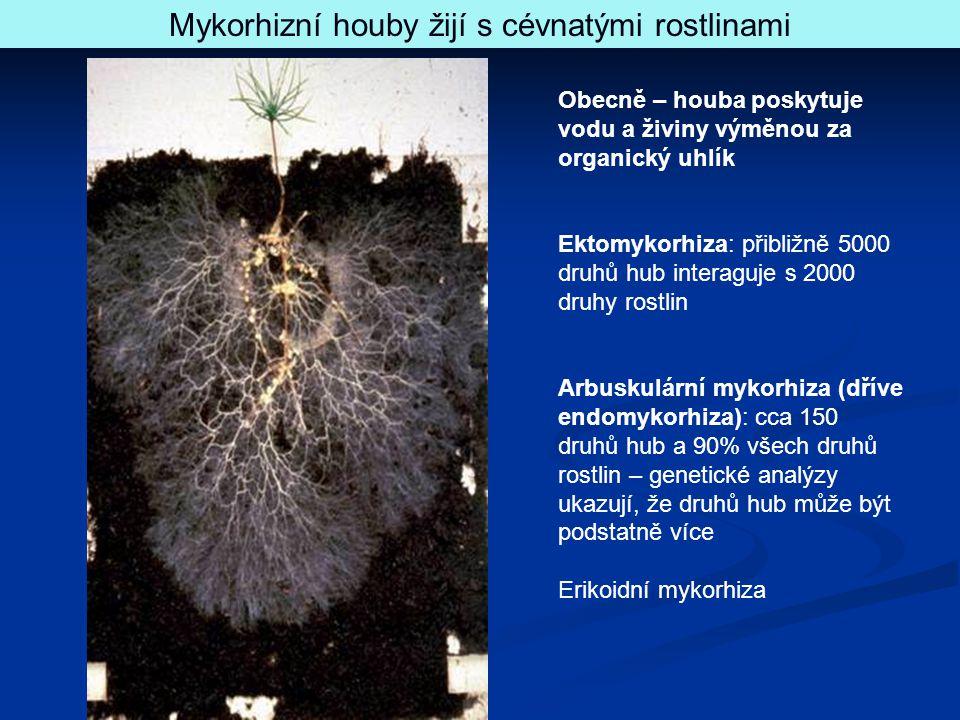 Mykorhizní houby žijí s cévnatými rostlinami Obecně – houba poskytuje vodu a živiny výměnou za organický uhlík Ektomykorhiza: přibližně 5000 druhů hub