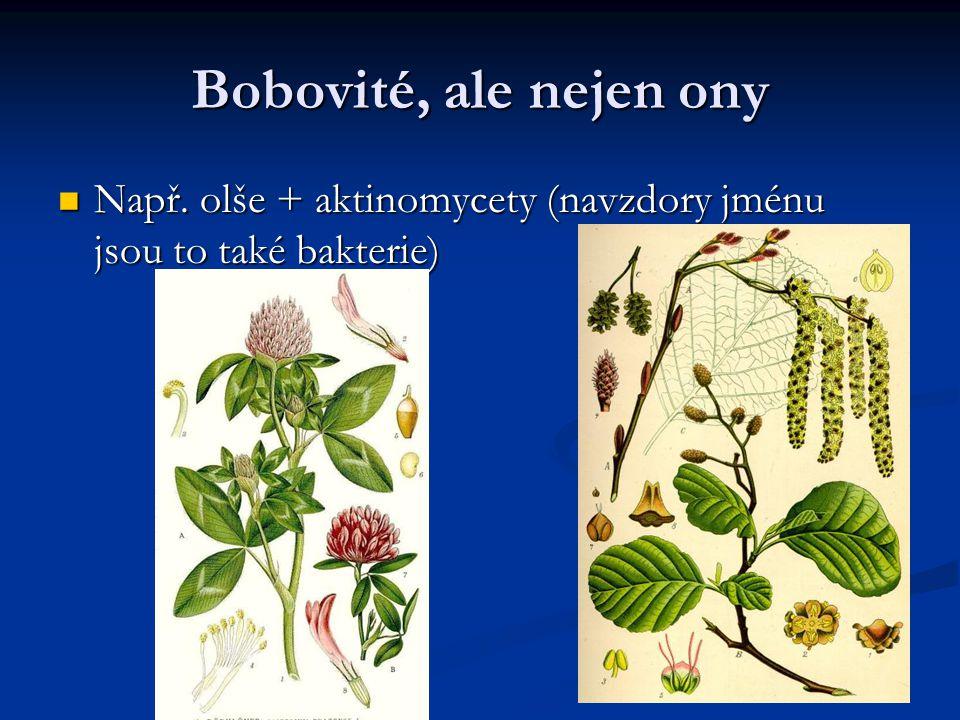 Bobovité, ale nejen ony Např. olše + aktinomycety (navzdory jménu jsou to také bakterie) Např. olše + aktinomycety (navzdory jménu jsou to také bakter