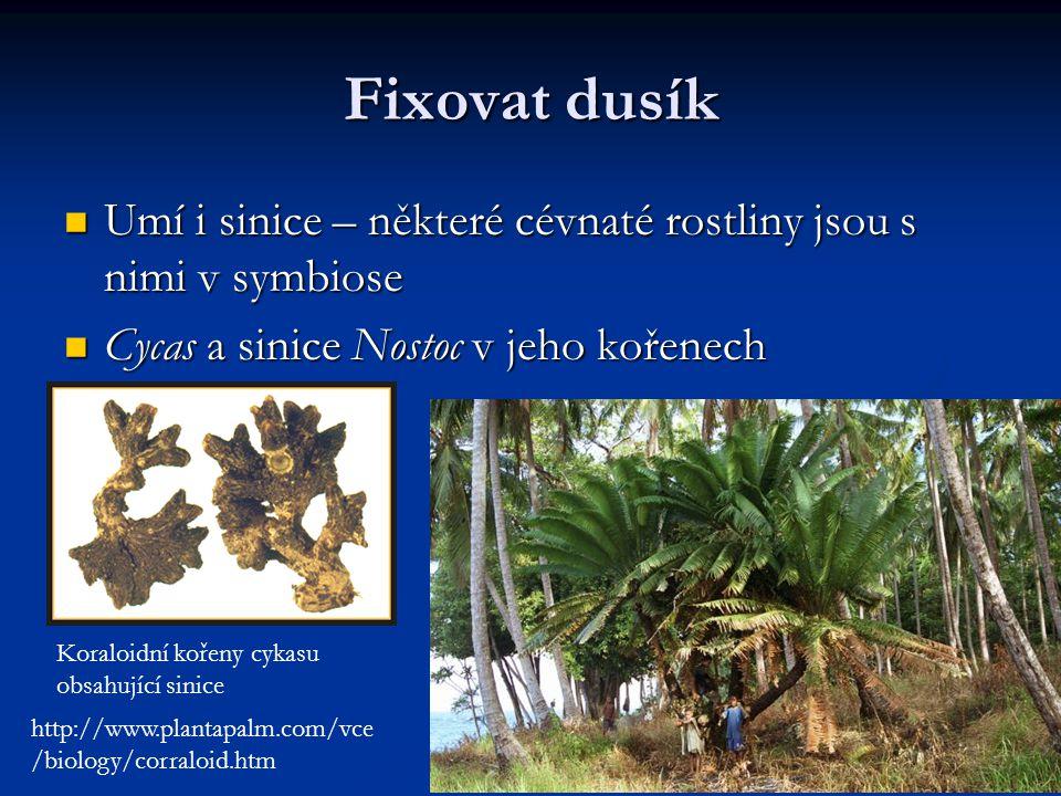 Fixovat dusík Umí i sinice – některé cévnaté rostliny jsou s nimi v symbiose Umí i sinice – některé cévnaté rostliny jsou s nimi v symbiose Cycas a si