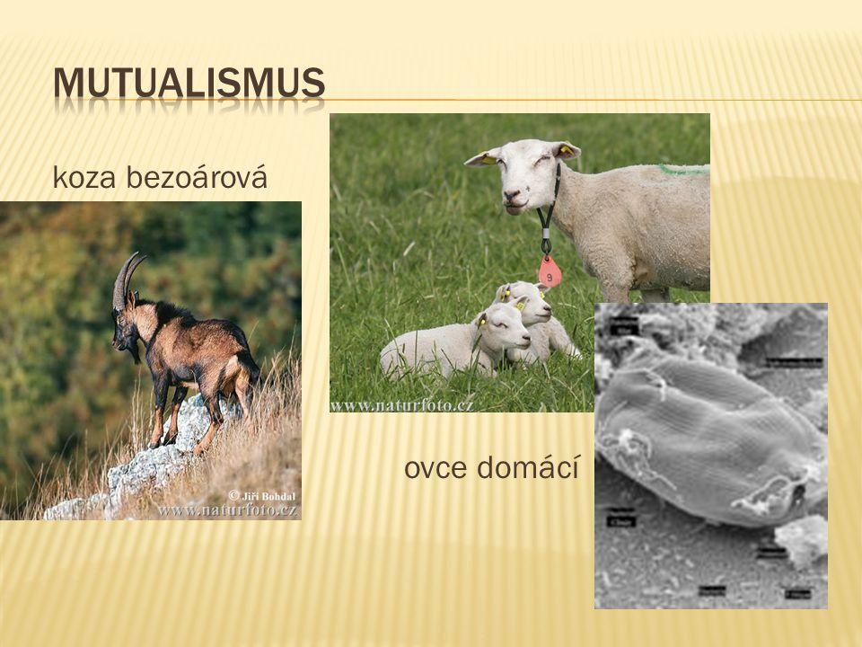 koza bezoárová ovce domácí