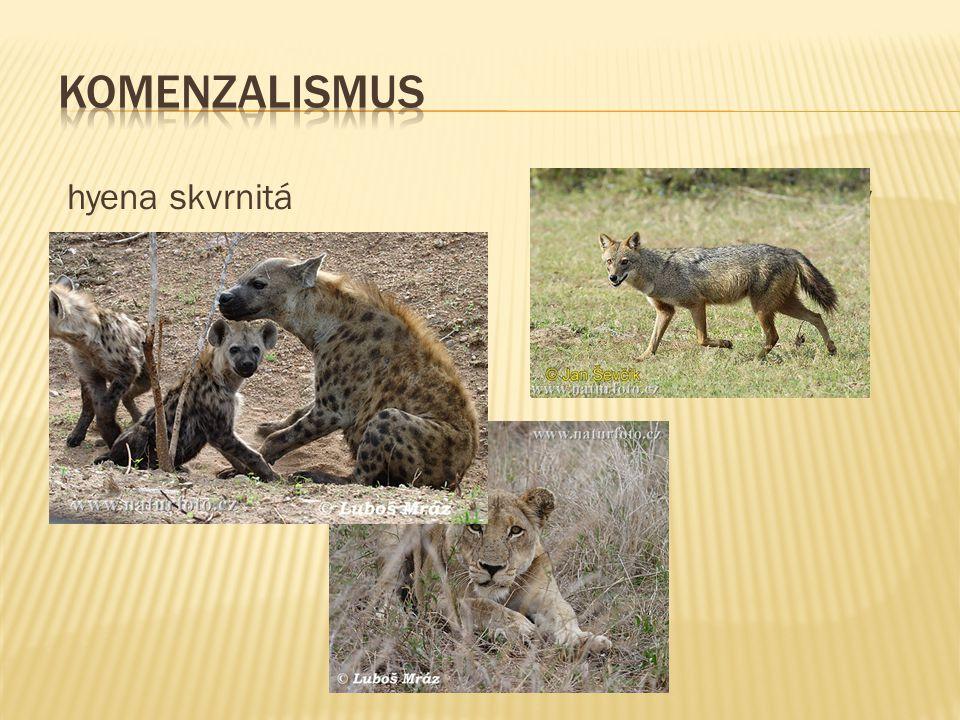 hyena skvrnitá šakal obecný