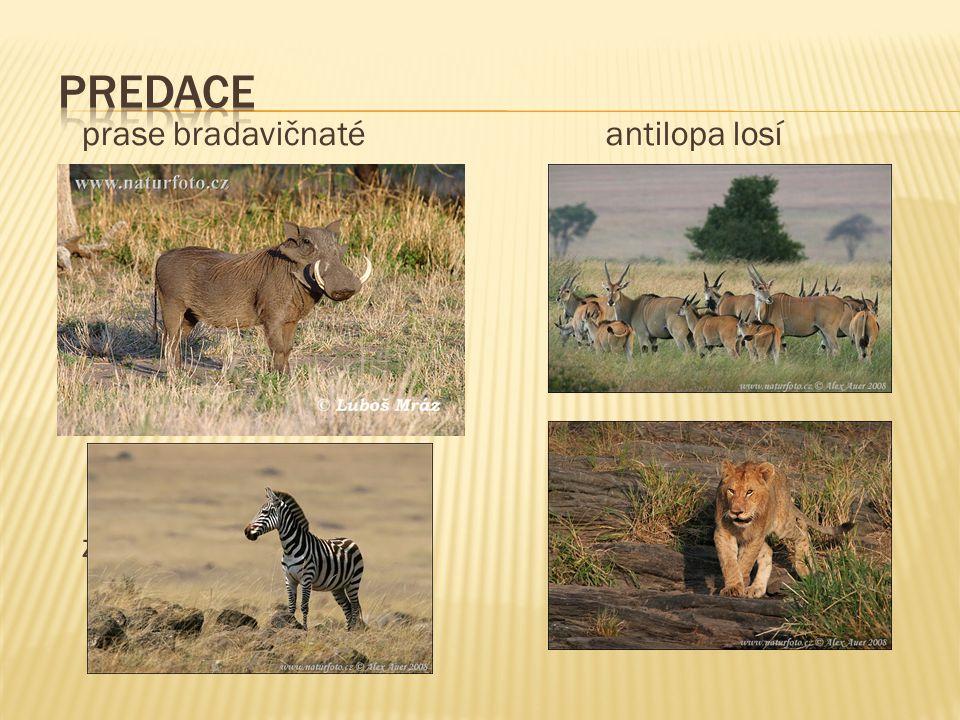 prase bradavičnaté antilopa losí zebra stepní lev
