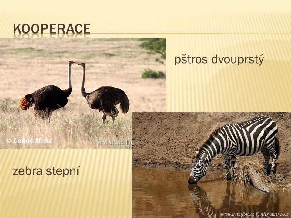  vztah dravce (predátora) a kořisti  predátor větší, početně slabí než kořist  požírá více druhů  př.lvi loví zebry, antilopy, prasata bradavičnatá  př.