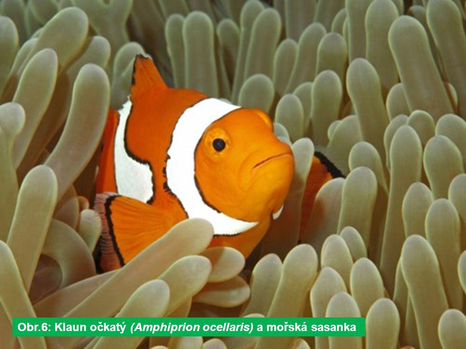Obr.6: Klaun očkatý (Amphiprion ocellaris) a mořská sasanka