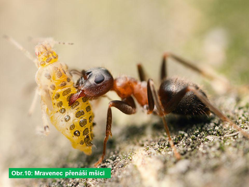 Obr.10: Mravenec přenáší mšici