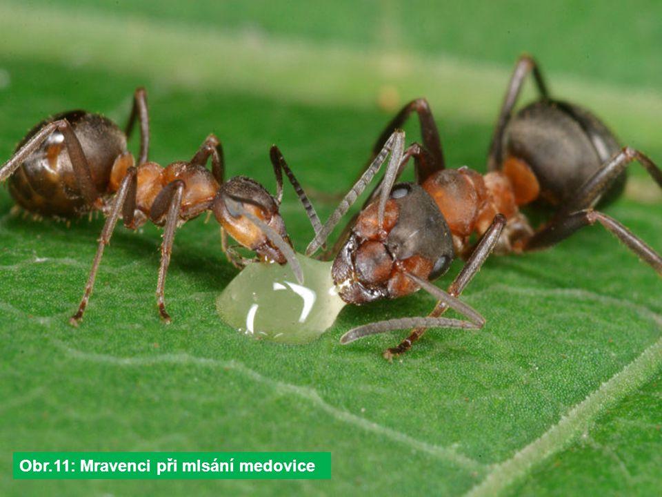Obr.11: Mravenci při mlsání medovice