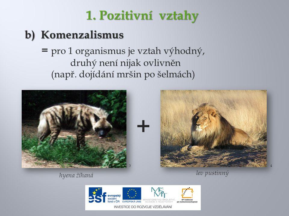 1. Pozitivní vztahy b) Komenzalismus = pro 1 organismus je vztah výhodný, druhý není nijak ovlivněn (např. dojídání mršin po šelmách) hyena žíhaná 34