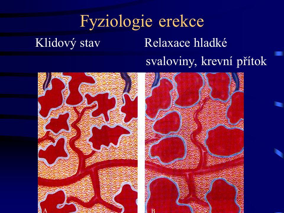 Fyziologie erekce Klidový stav Relaxace hladké svaloviny, krevní přítok