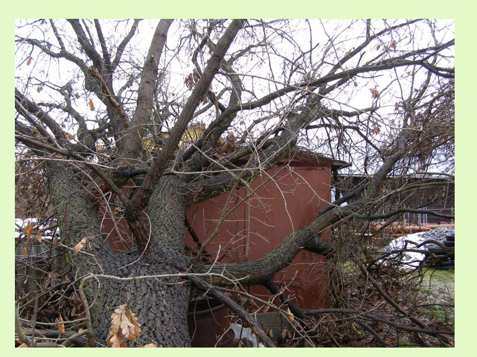 Riziko selhání stromu mohou zvýšit některé (ne) předvídatelné vlivy - vítr - 1) extrémní rychlost větru: obecně nad 32 m/s tj.