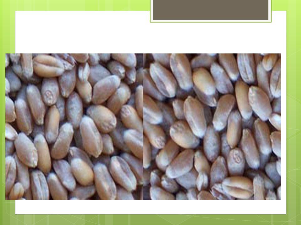 Žito  Tvar zrna je protahlejší, na jednom konci zúžený.