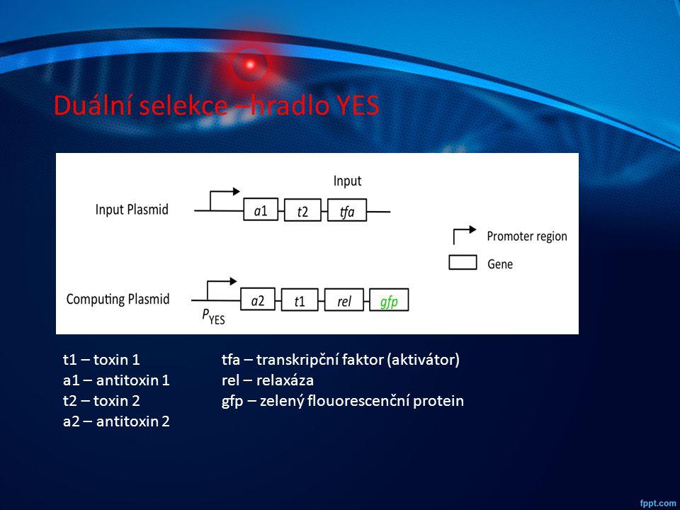 Duální selekce –hradlo YES t1 – toxin 1 a1 – antitoxin 1 t2 – toxin 2 a2 – antitoxin 2 tfa – transkripční faktor (aktivátor) rel – relaxáza gfp – zele