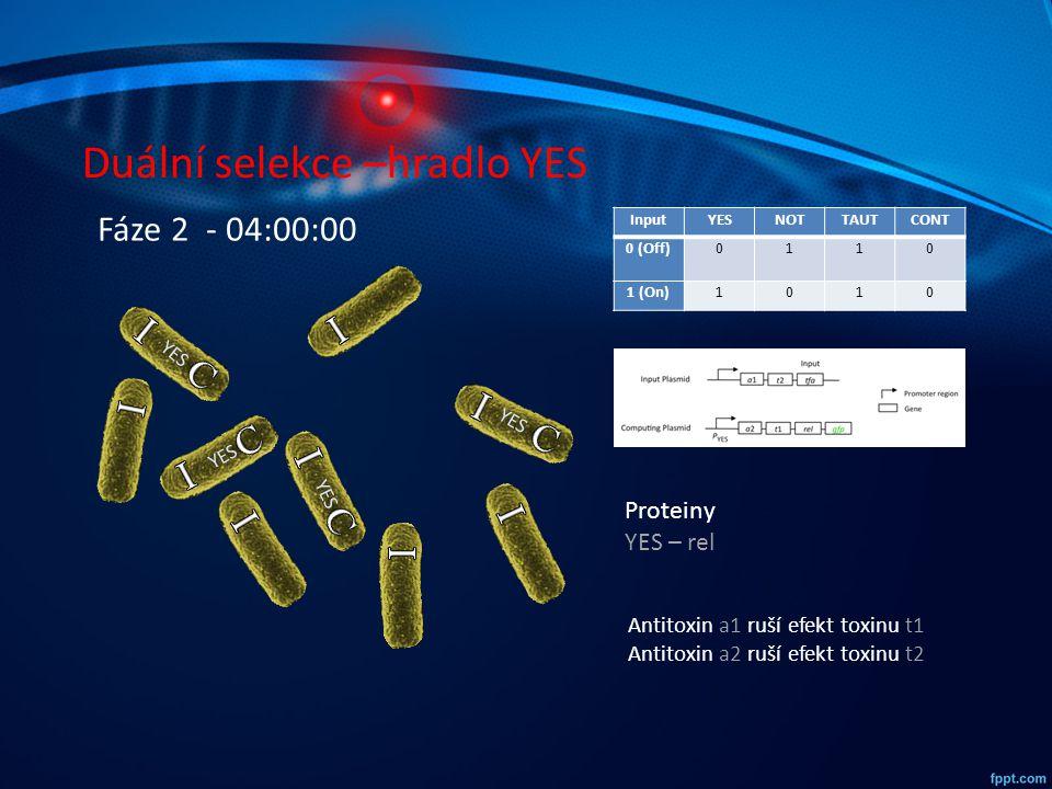Duální selekce –hradlo YES InputYESNOTTAUTCONT 0 (Off)0110 1 (On)1010 YES Fáze 2 - 04:00:00 Proteiny YES – rel Antitoxin a1 ruší efekt toxinu t1 Antit