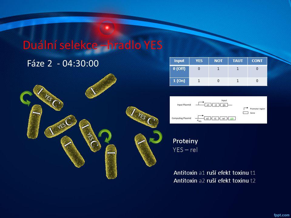 Duální selekce –hradlo YES InputYESNOTTAUTCONT 0 (Off)0110 1 (On)1010 YES Fáze 2 - 04:30:00 Proteiny YES – rel Antitoxin a1 ruší efekt toxinu t1 Antit