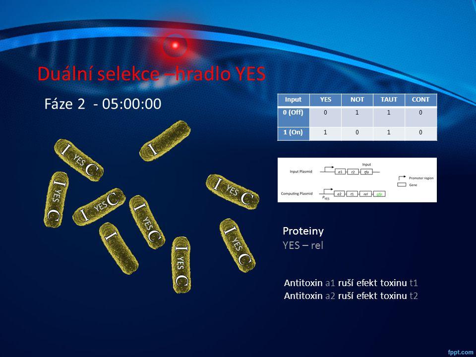 Duální selekce –hradlo YES InputYESNOTTAUTCONT 0 (Off)0110 1 (On)1010 YES Fáze 2 - 05:00:00 Proteiny YES – rel Antitoxin a1 ruší efekt toxinu t1 Antit