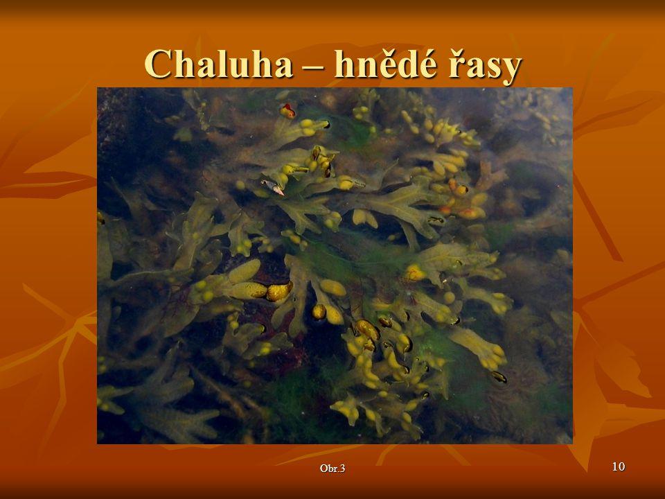 Chaluha – hnědé řasy Obr.3 10