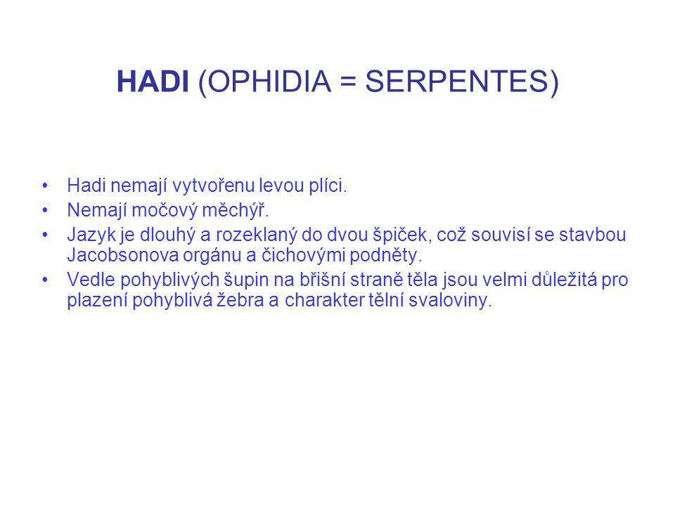 HADI (OPHIDIA = SERPENTES) Hadi nemají vytvořenu levou plíci. Nemají močový měchýř. Jazyk je dlouhý a rozeklaný do dvou špiček, což souvisí se stavbou