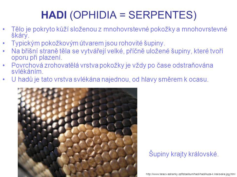 HADI (OPHIDIA = SERPENTES) Tělo je pokryto kůží složenou z mnohovrstevné pokožky a mnohovrstevné škáry. Typickým pokožkovým útvarem jsou rohovité šupi