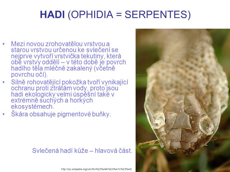 HADI (OPHIDIA = SERPENTES) Hadí kůže (ne svlečka) je žádaným obchodním artiklem, proto je mnoho druhů bezohledně vybíjeno i ohroženo vyhubením.