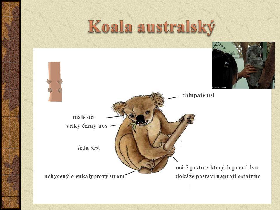 známý také jako medvídek koala vyskytují se po celém východním pobřeží Austrálie délka 70–90 cm, hmotnost 4–12 kg potravní specialista (listy blahovičníku) energetická hodnota blahovičníku je nízká, musí šetřit energií a proto spí až 20 hodin denně jedno mládě ve vaku otevřeném dozadu, mládě váží méně než 1 g, osamostatní se ve věku kolem jednoho roku přísně chráněný