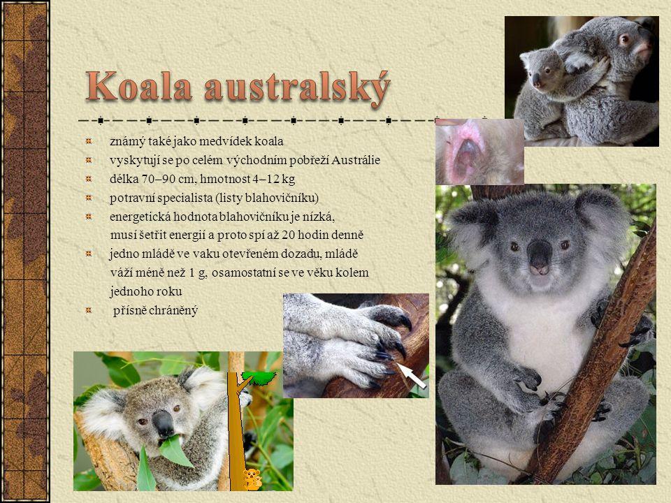 známý také jako medvídek koala vyskytují se po celém východním pobřeží Austrálie délka 70–90 cm, hmotnost 4–12 kg potravní specialista (listy blahovič