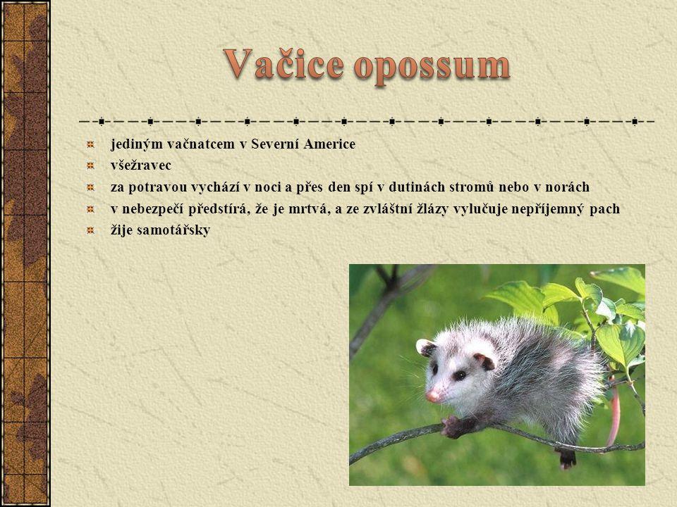 Vakoveverka Bandikut nosatý Ďábel medvědovitý Vombat obecný