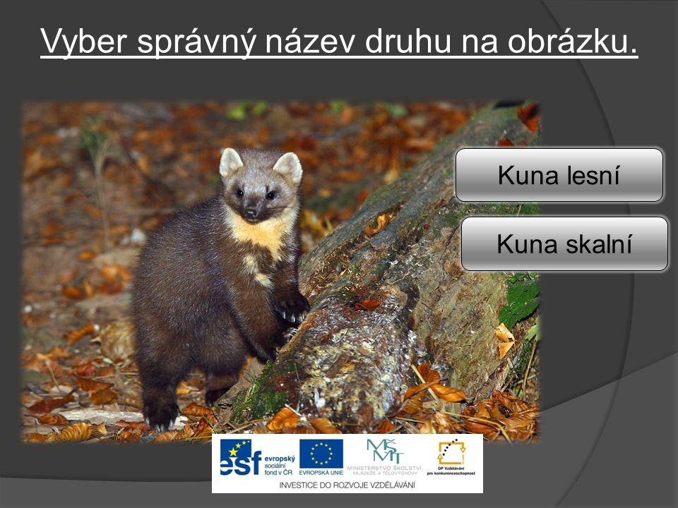 Vyber správný název druhu na obrázku. Kuna lesní Kuna skalní