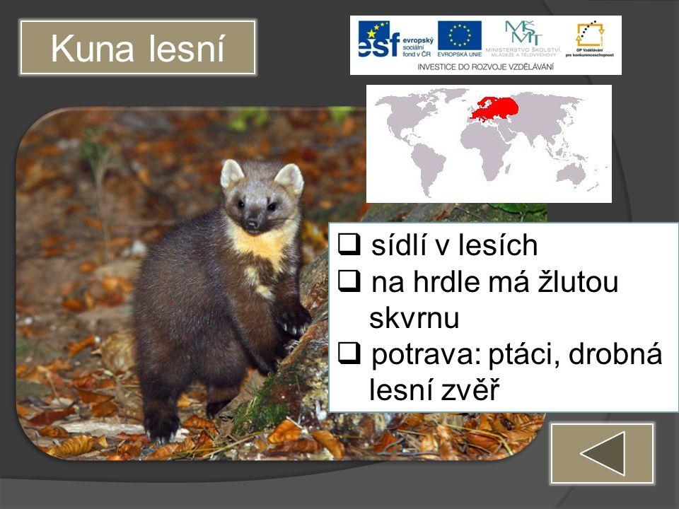 Kuna lesní  sídlí v lesích  na hrdle má žlutou skvrnu  potrava: ptáci, drobná lesní zvěř