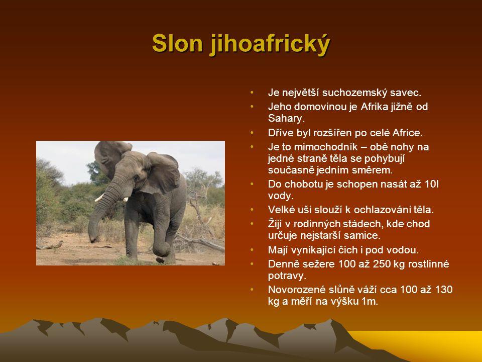 Slon jihoafrický Je největší suchozemský savec. Jeho domovinou je Afrika jižně od Sahary. Dříve byl rozšířen po celé Africe. Je to mimochodník – obě n