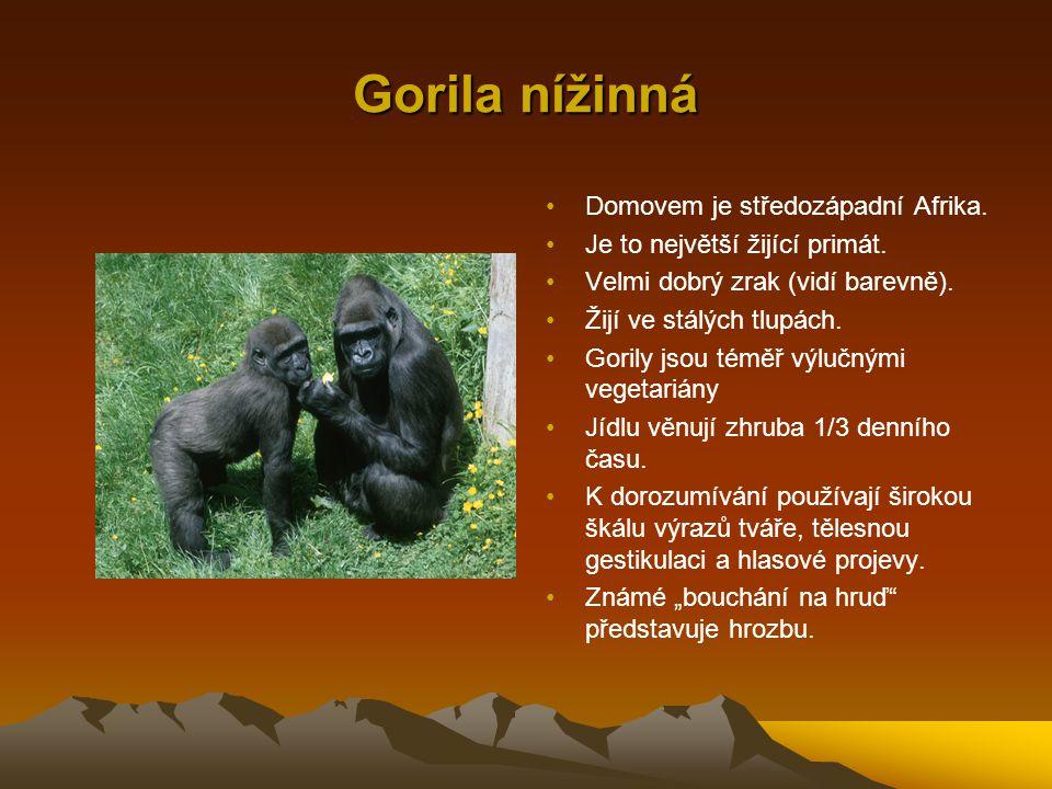 Gorila nížinná Domovem je středozápadní Afrika. Je to největší žijící primát. Velmi dobrý zrak (vidí barevně). Žijí ve stálých tlupách. Gorily jsou té