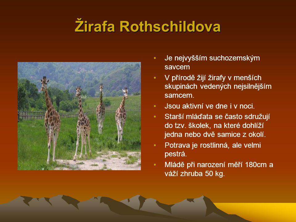 Žirafa Rothschildova Je nejvyšším suchozemským savcem V přírodě žijí žirafy v menších skupinách vedených nejsilnějším samcem. Jsou aktivní ve dne i v