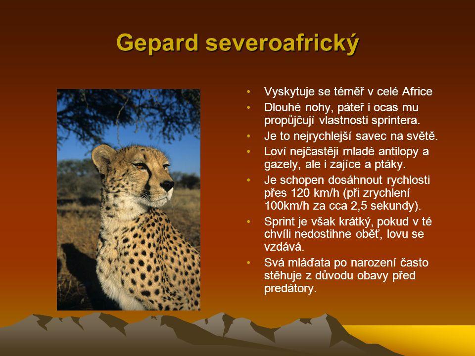 Gepard severoafrický Vyskytuje se téměř v celé Africe Dlouhé nohy, páteř i ocas mu propůjčují vlastnosti sprintera. Je to nejrychlejší savec na světě.