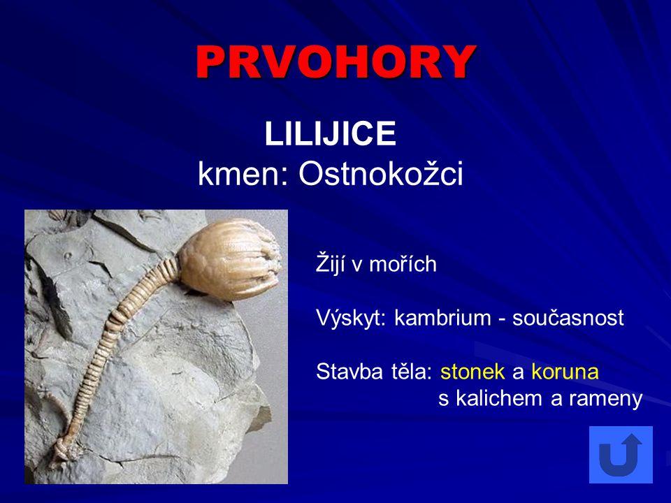 PRVOHORY LILIJICE kmen: Ostnokožci Žijí v mořích Výskyt: kambrium - současnost Stavba těla: stonek a koruna s kalichem a rameny