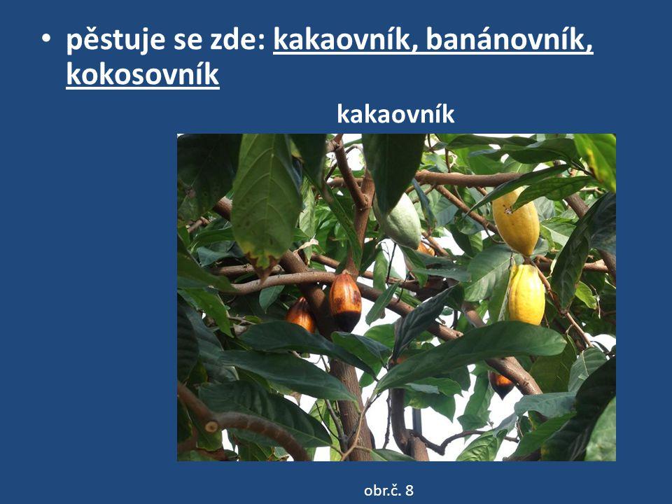 pěstuje se zde: kakaovník, banánovník, kokosovník kakaovník obr.č. 8