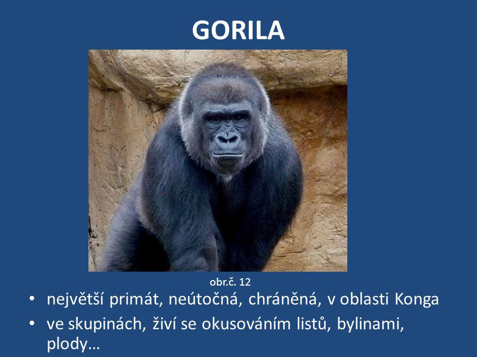 GORILA největší primát, neútočná, chráněná, v oblasti Konga ve skupinách, živí se okusováním listů, bylinami, plody… obr.č. 12