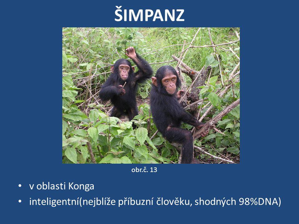 ŠIMPANZ v oblasti Konga inteligentní(nejblíže příbuzní člověku, shodných 98%DNA) obr.č. 13