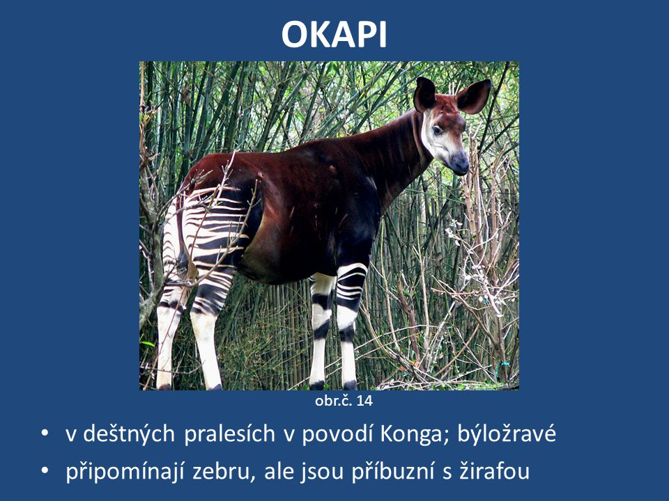OKAPI v deštných pralesích v povodí Konga; býložravé připomínají zebru, ale jsou příbuzní s žirafou obr.č. 14