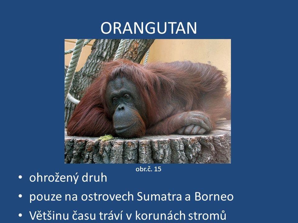ORANGUTAN ohrožený druh pouze na ostrovech Sumatra a Borneo Většinu času tráví v korunách stromů obr.č. 15