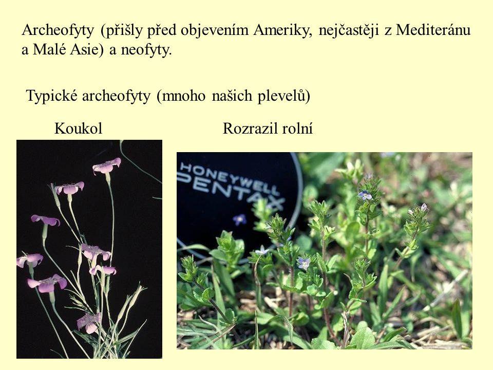 Typické archeofyty (mnoho našich plevelů) KoukolRozrazil rolní