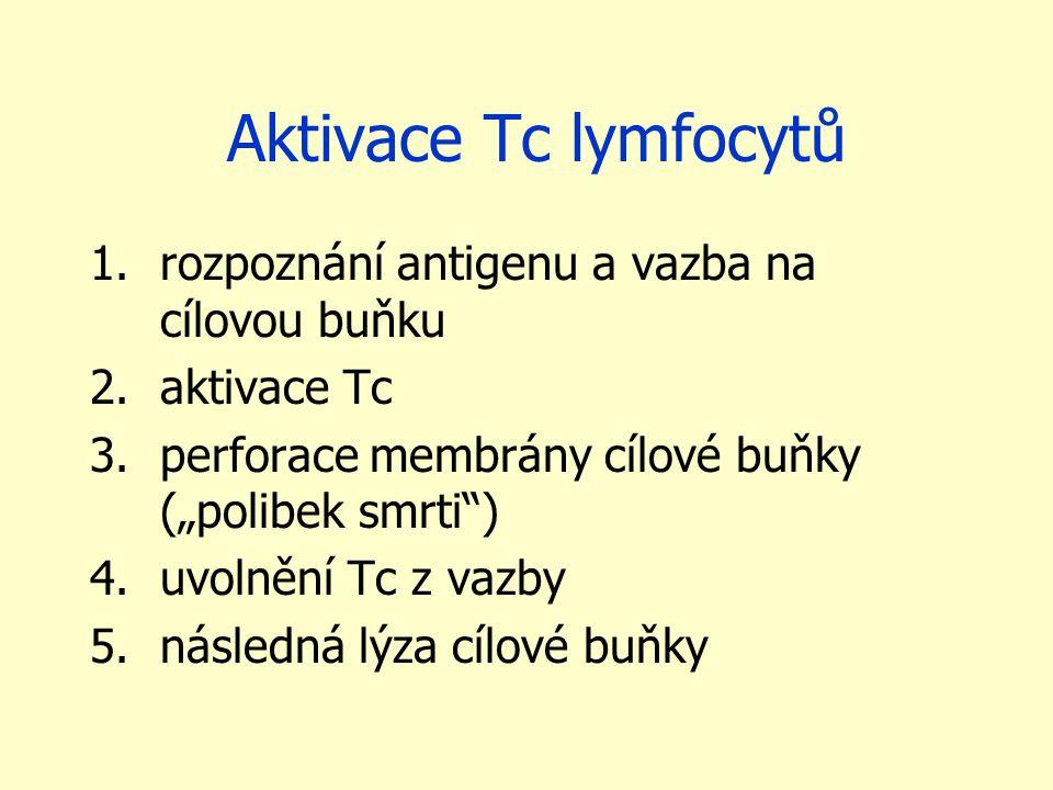 """Aktivace Tc lymfocytů 1.rozpoznání antigenu a vazba na cílovou buňku 2.aktivace Tc 3.perforace membrány cílové buňky (""""polibek smrti ) 4.uvolnění Tc z vazby 5.následná lýza cílové buňky"""
