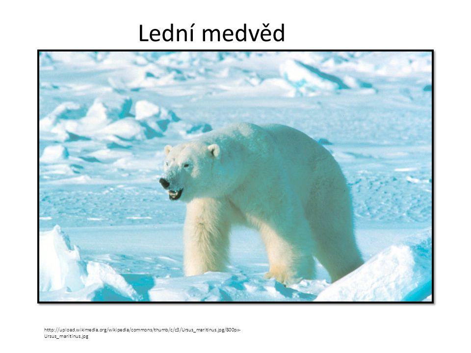 Lední medvěd http://upload.wikimedia.org/wikipedia/commons/thumb/c/c3/Ursus_maritinus.jpg/800px- Ursus_maritinus.jpg