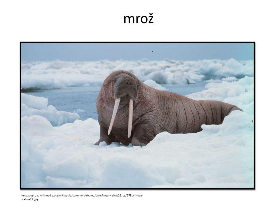 mrož http://upload.wikimedia.org/wikipedia/commons/thumb/c/ce/Noaa-walrus22.jpg/278px-Noaa- walrus22.jpg
